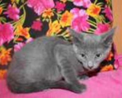 Adopt a Gray or Blue Domestic Shorthair / Mixed (short coat) cat in Modesto