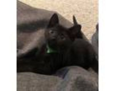Adopt LEO a All Black Domestic Shorthair / Mixed (short coat) cat in Louisville