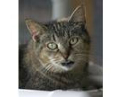 Adopt Vaya a Domestic Shorthair / Mixed (short coat) cat in North Fort Myers