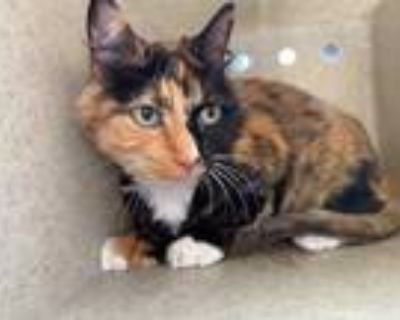 Adopt GOLDIE a Tortoiseshell Domestic Longhair / Mixed (long coat) cat in