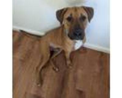 Adopt Conan a Tan/Yellow/Fawn Mastiff / American Pit Bull Terrier / Mixed dog in
