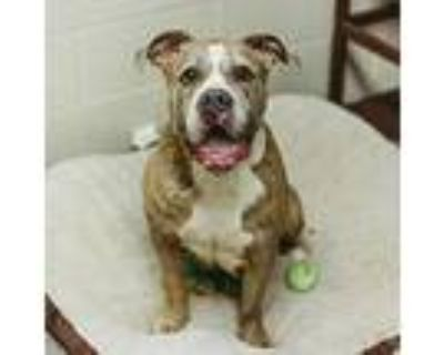 Angel, Pit Bull Terrier For Adoption In Willington, Connecticut