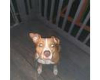 Adopt Nikki a Brown/Chocolate - with White American Pit Bull Terrier / Dutch