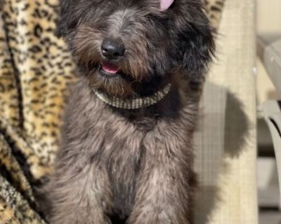FRENCH WHOODLE Puppy Chiot Cartier