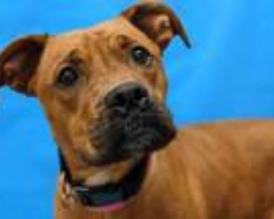 Adopt Wiggles a Red/Golden/Orange/Chestnut Boxer / Mixed dog in Woodbury