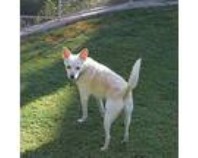 Joey And Shadow, Jack Russell Terrier For Adoption In Chandler, Arizona