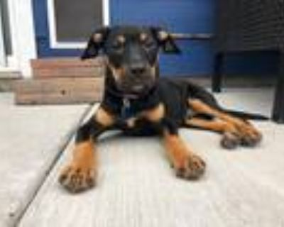 Adopt Vader a Black - with Tan, Yellow or Fawn Labrador Retriever dog in