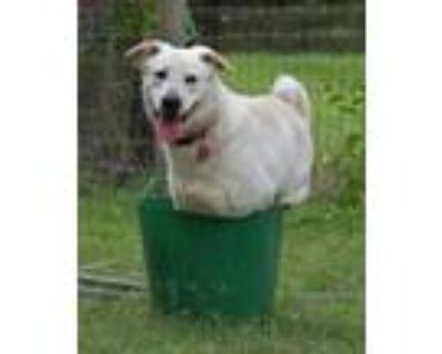 Adopt Amazing Addy! A Loving Companion! a Labrador Retriever, Spitz
