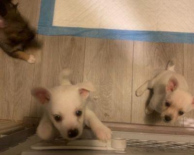 Pomanauze Puppies