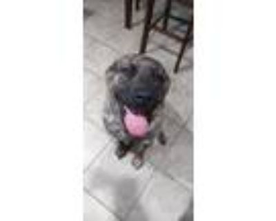 Adopt Mixie a Brindle Mastiff / Mixed dog in Owasso, OK (31579722)