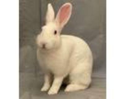 Adopt Anaya Ayana FKA Snowball a Bunny Rabbit