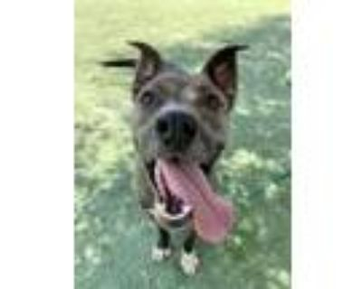 Adopt Rizzo a Tan/Yellow/Fawn American Pit Bull Terrier / Mixed dog in El Paso