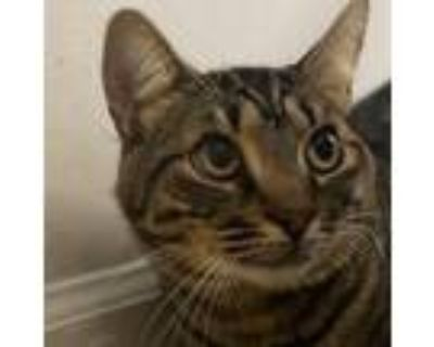 Adopt Whiskey a Gray or Blue Maine Coon / Domestic Shorthair / Mixed cat in