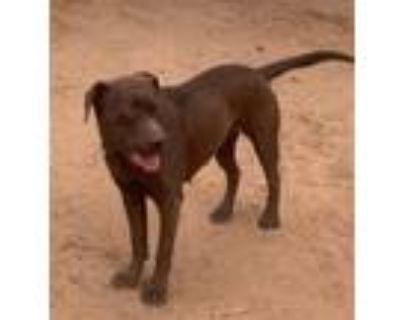 Adopt Jasmine a Chocolate Labrador Retriever