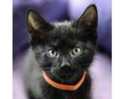 Adopt Carrot a All Black Domestic Shorthair / Mixed cat in Palatine
