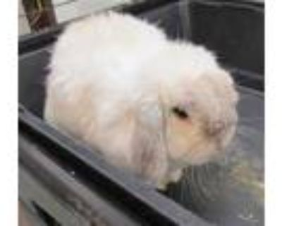 Adopt MARLEY a White Other/Unknown / Mixed rabbit in Derwood, MD (31681977)