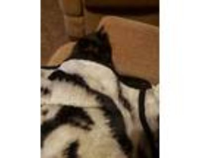 Adopt Miss Kitty a All Black Domestic Longhair / Mixed (long coat) cat in