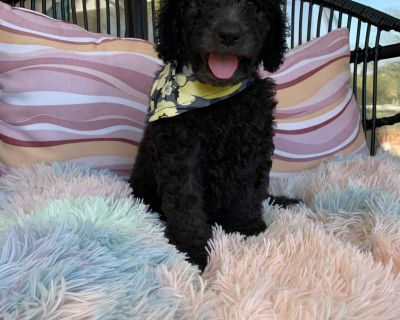 Silver Standard Poodle Puppies