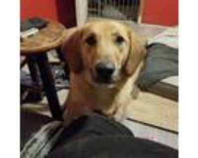 Adopt Afton a Tan/Yellow/Fawn - with Black Bloodhound / Mixed Breed (Large) /