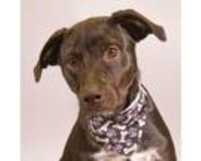 Adopt Harley a Labrador Retriever, Australian Cattle Dog / Blue Heeler