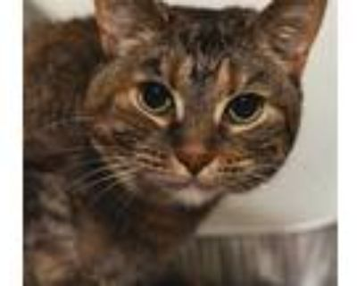 Adopt EARNESTINE a Brown Tabby Domestic Shorthair / Mixed (short coat) cat in
