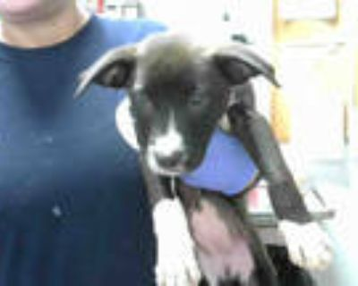 Adopt ELENA a Black - with White American Pit Bull Terrier / Mixed dog in