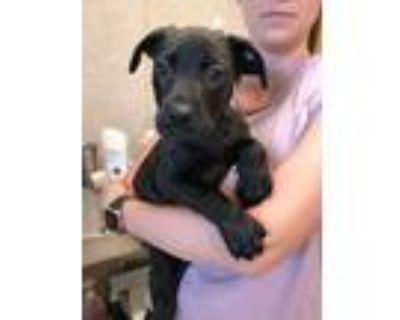 Adopt Shenzi a Black Labrador Retriever / Weimaraner / Mixed dog in Denver