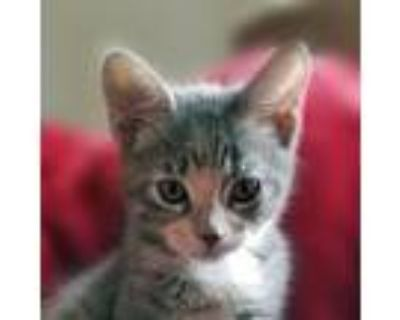 Adopt Obi Wan a Gray, Blue or Silver Tabby Domestic Shorthair / Mixed cat in