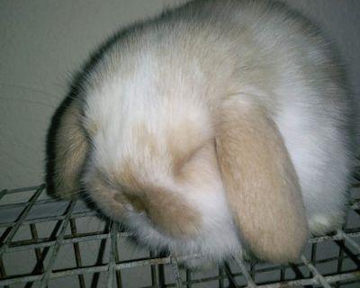 Holland Lop Bunnies Rabbits Lops Bunny Rabbit