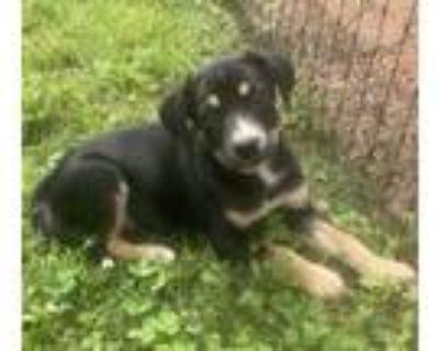 Adopt Stacey a Labrador Retriever, Shepherd