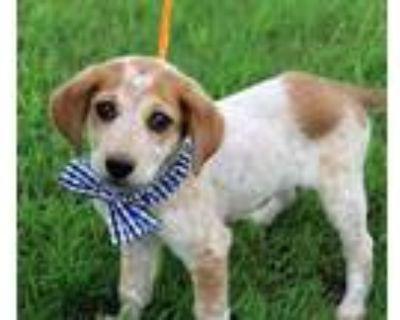 Adopt Willie a Australian Cattle Dog / Blue Heeler