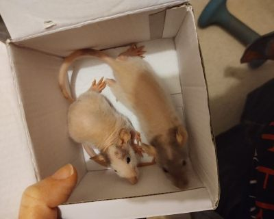 Sweet Pet Rat babies