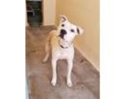 Adopt 21-338 a Pit Bull Terrier