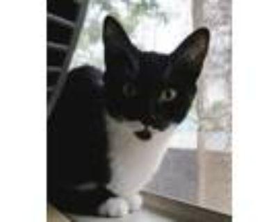 Adopt Burton (WAY cute) a Black & White or Tuxedo Domestic Shorthair (short