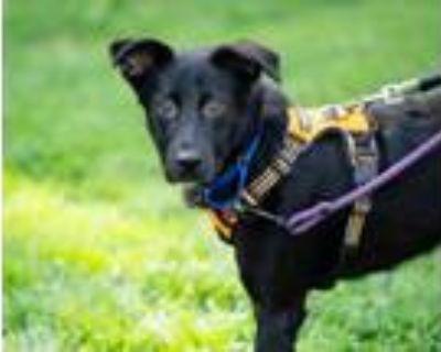 Adopt Benny a Labrador Retriever, Mixed Breed