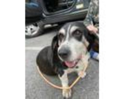 Adopt DOLLY a Black Basset Hound / Mixed dog in Louisville, KY (31607298)