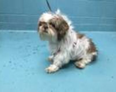 Adopt TJ a White - with Brown or Chocolate Shih Tzu / Mixed dog in San Antonio