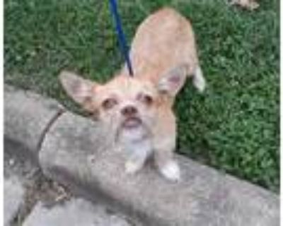 Adopt a Tan/Yellow/Fawn Brussels Griffon / Mixed dog in Houston, TX (31243125)