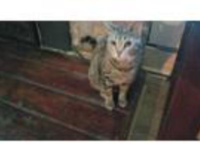 Adopt Peace a Spotted Tabby/Leopard Spotted Domestic Shorthair / Mixed cat in