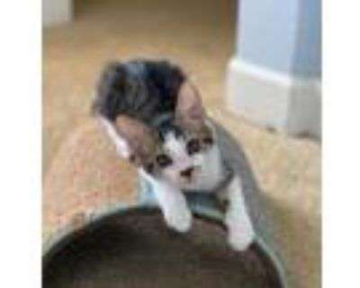 Adopt Bear a Gray or Blue Domestic Shorthair / Domestic Shorthair / Mixed cat in