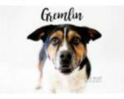 Adopt Gremlin a Corgi