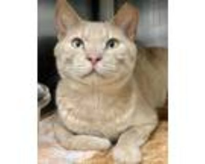 Adopt Gingerale a Orange or Red Domestic Shorthair / Domestic Shorthair / Mixed