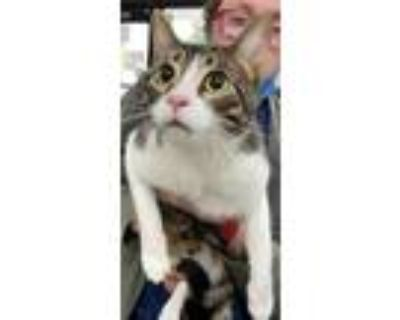 Adopt Stwik bonded a White Domestic Shorthair / Domestic Shorthair / Mixed cat