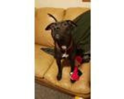 Adopt Cena a Brindle Staffordshire Bull Terrier / Mixed dog in White Settlement