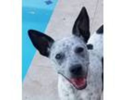 Adopt Millie a White - with Black Cattle Dog / Terrier (Unknown Type