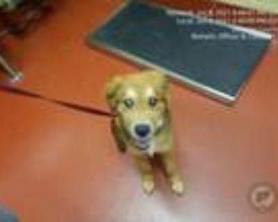 Adopt Marvin a Golden Retriever, Shepherd