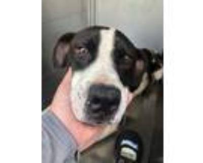 Adopt Leghorn a White Pointer / Mixed dog in Fort Worth, TX (31337287)