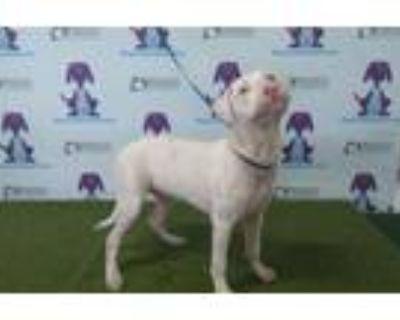 Adopt A476742 a Labrador Retriever, Mixed Breed