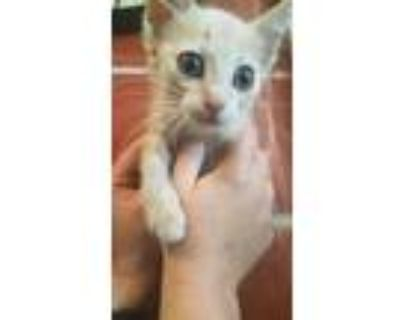 Adopt Lexi a Cream or Ivory Domestic Shorthair / Domestic Shorthair / Mixed cat
