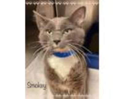 Adopt SMOKEY a Gray or Blue (Mostly) Domestic Shorthair (short coat) cat in